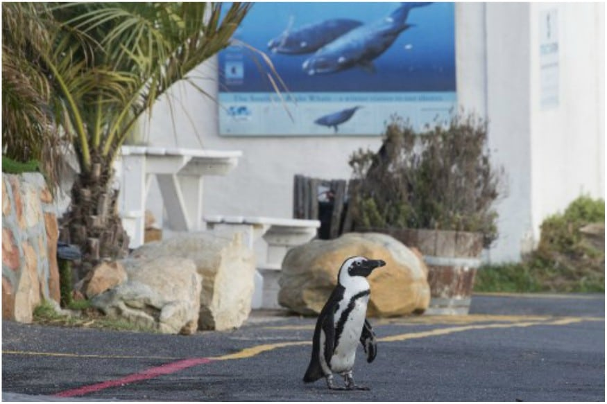 penguin_covid